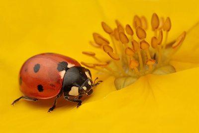 Ladybird Taking Off