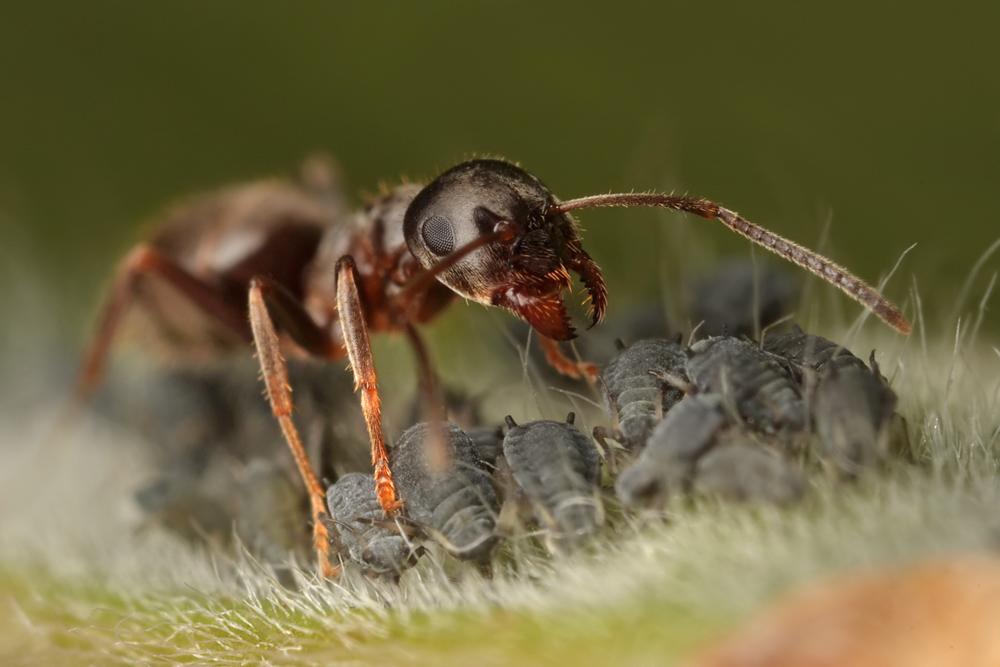 муравей5